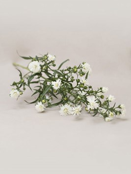 Funeral : Single Michaelmas Daisy Stem