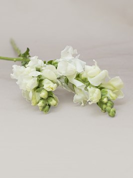 Doves: Single White Snapdragon Stem